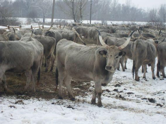 Корова нова атракція закарпаття
