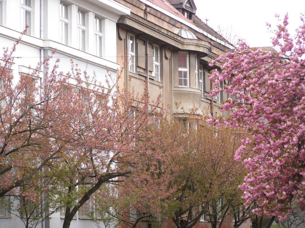 22 квітня 2012 року, цвітіння сакур в Ужгороді, Турінформ Закарпаття
