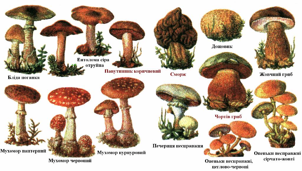 энциклопедия грибов с фотографиями: