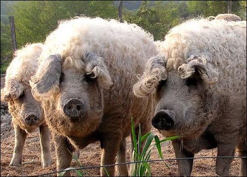 волохаті свині мангалиці