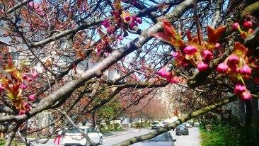 Цвітіння сакур в Ужгороді