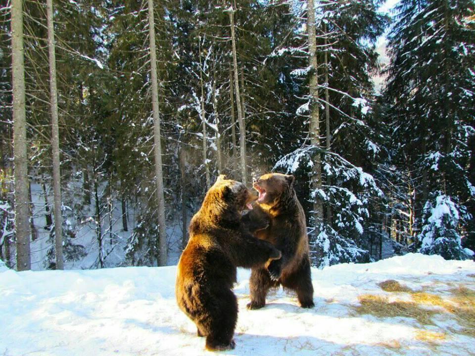 Бурі ведмеді Карпат: де побачити