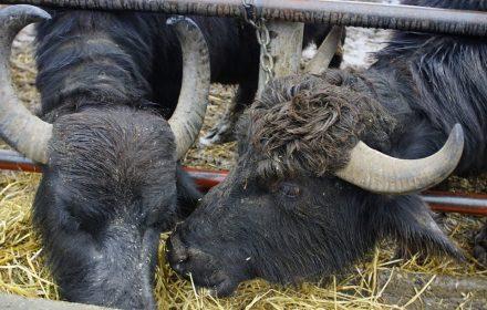 ферма буйволів