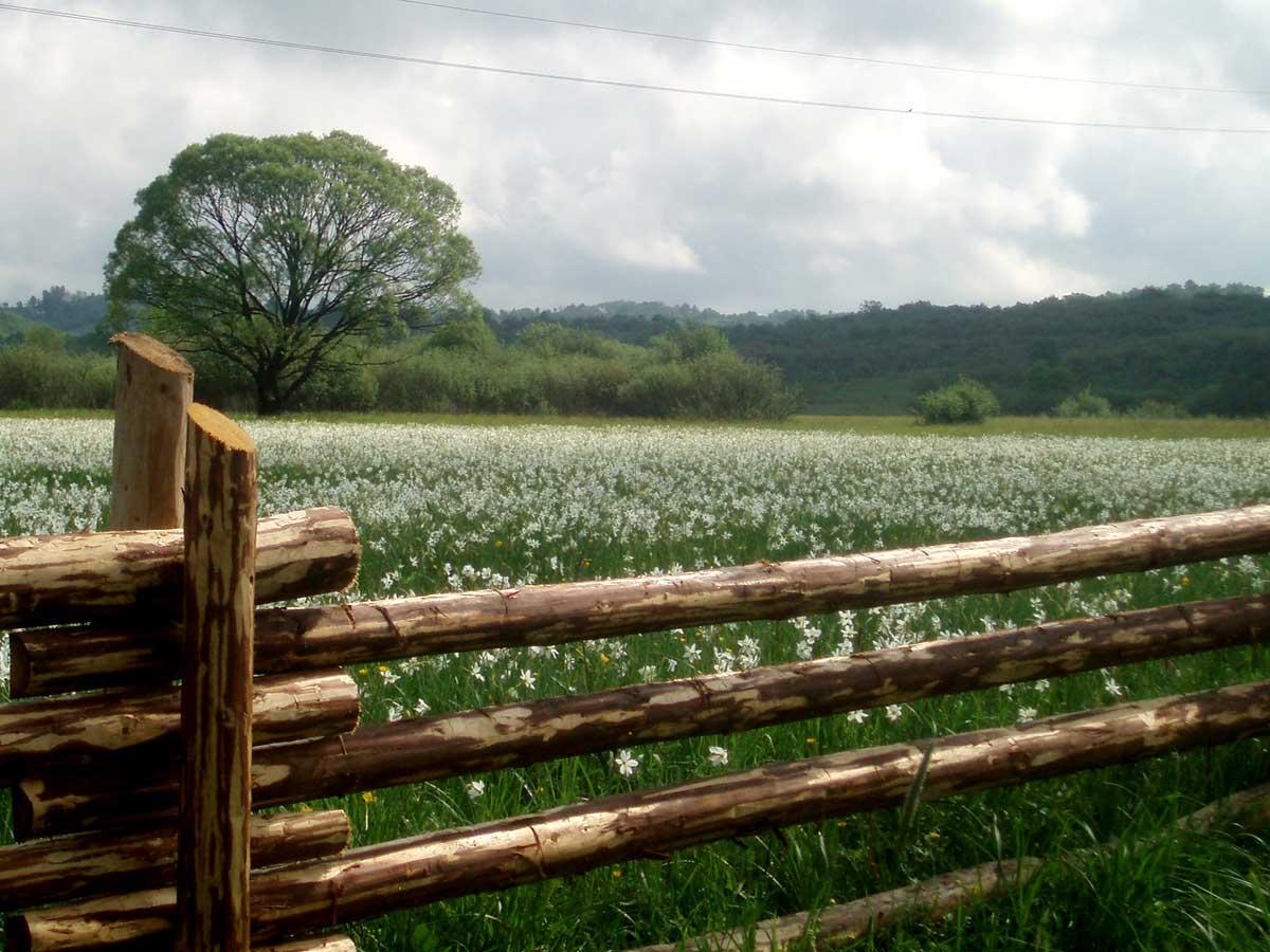 Цвітіння сакури та долина нарцисів