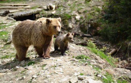 бурі ведмеді
