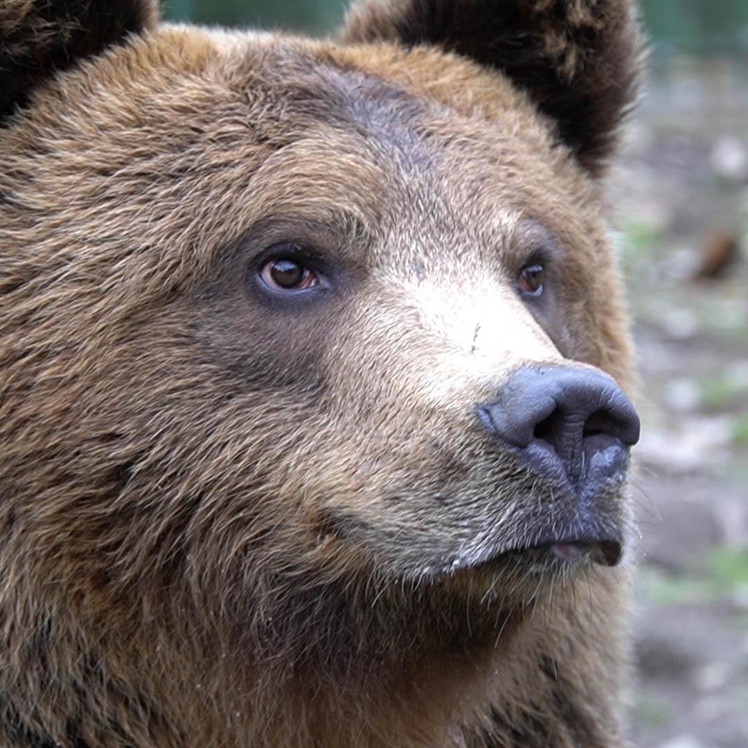 Реабілітаційний центр бурого ведмедя у Синевирі