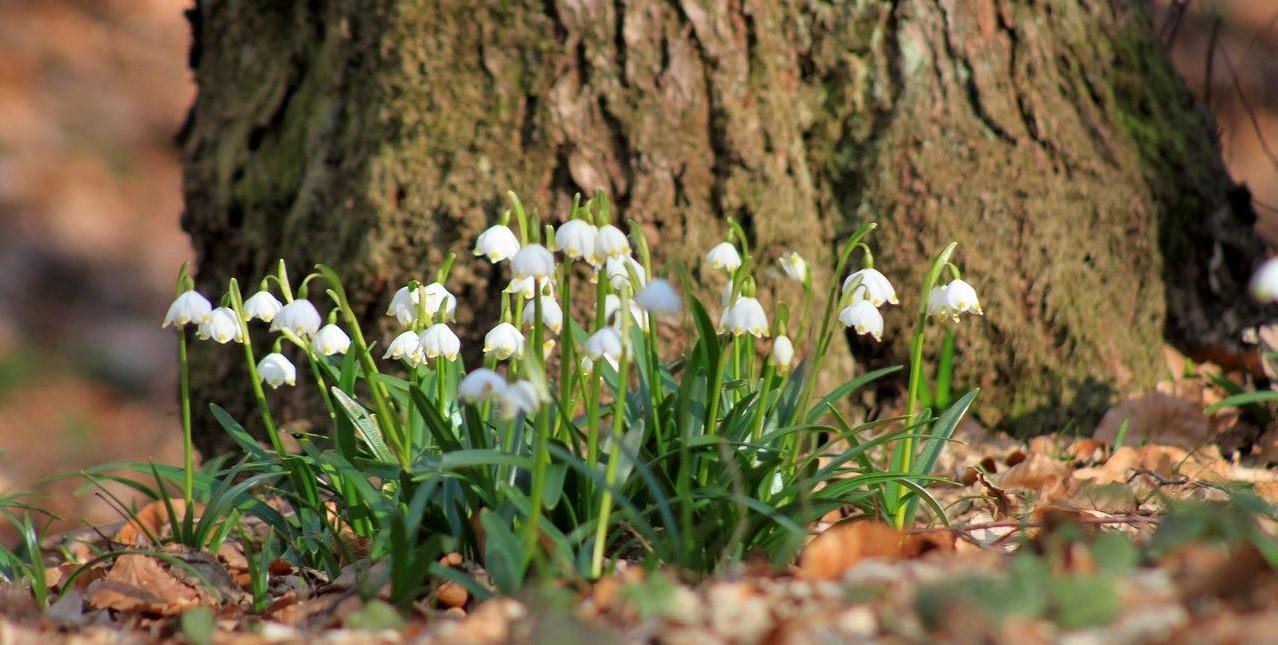 Білоцвіт весняний – природня фотозона Закарпаття (Фото)
