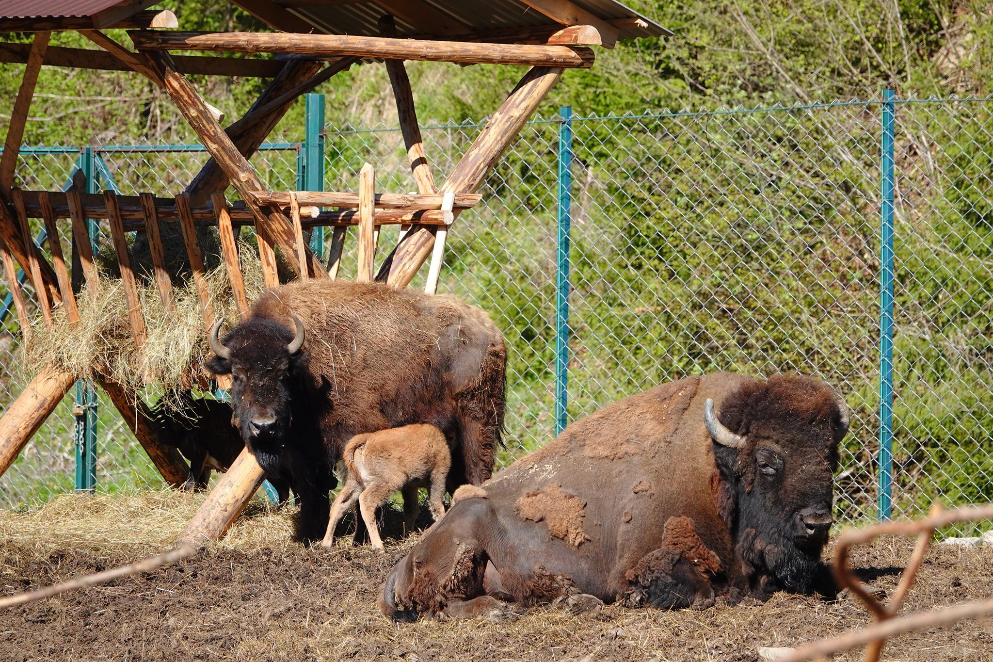 bizón