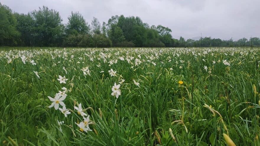 Природнє диво України - долина нарцисів поруч з містом Хуст розпочала цвітіння згідно попередніх прогнозів, а масове цвітіння очікується вже вже за тиждень.