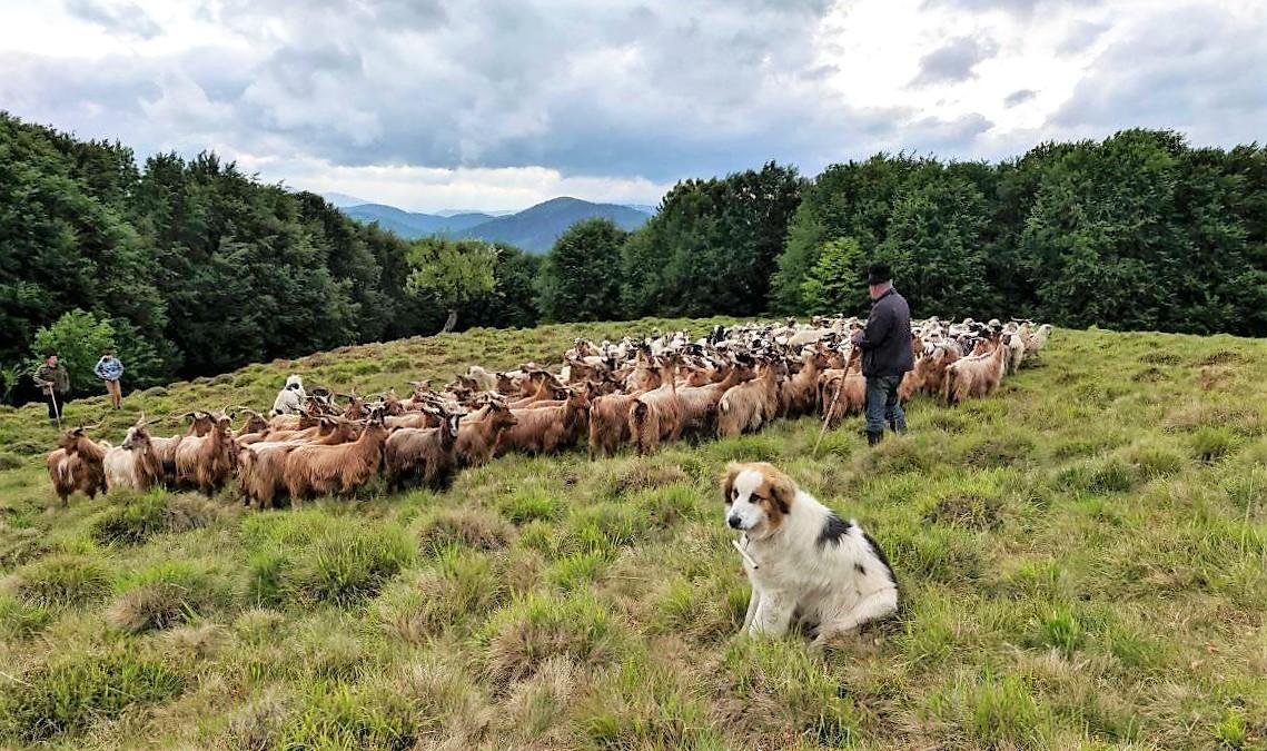 Чому варто розповідати більше про традиційне вівчарство у Закарпатті?