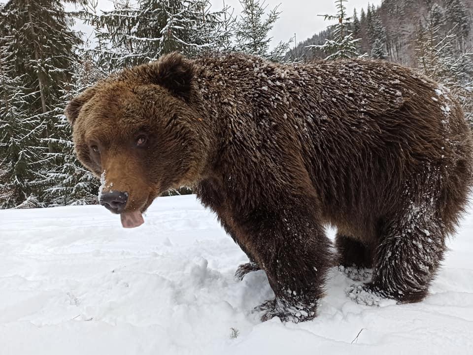 Зимове відео у Центрі реабілітації бурих ведмедів НПП Синевир