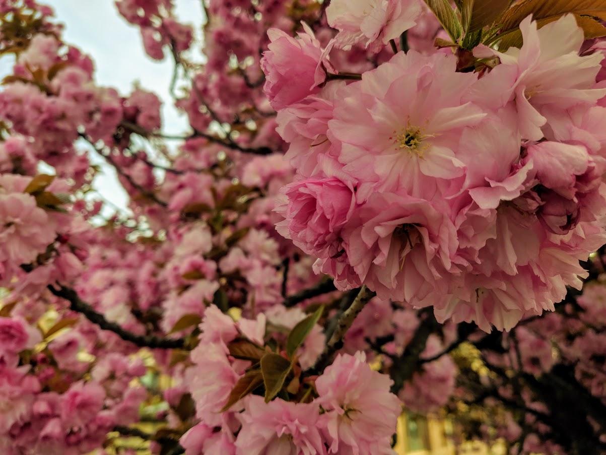 Туристи очікують на період цвітіння сакури в Закарпатті