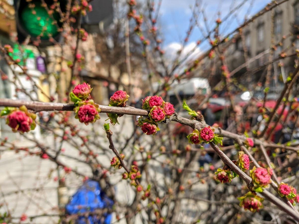 В Ужгороді почав квітнути мигдаль