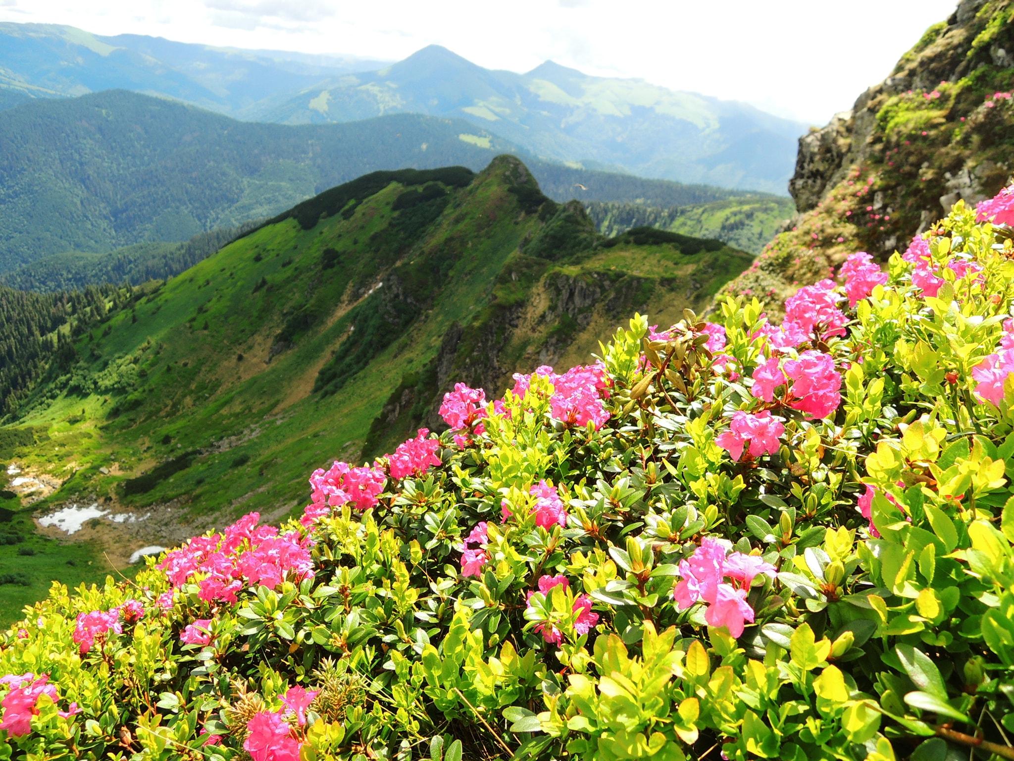 Тур на цвітіння червоної рути в Карпатах