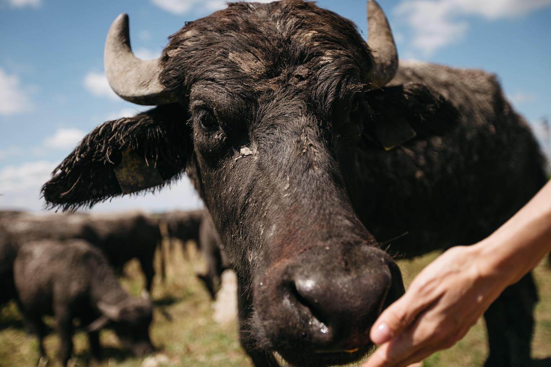 Дегустація сиру на фермі Карпатський буйвіл, унікальна через те, що тут вам запропонують палітру сирів та молочних продуктів з молока буйволів.